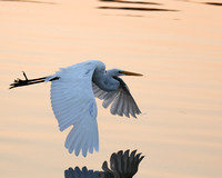 Early Morning Egret Reflection
