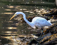 Egret With bands