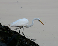 Ft Totten Egret 1