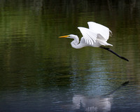 Egret, Green Reflection