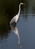 Reflecting Egret (Limited Edition)